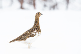 Red grouse / Dalripa _DSC4071