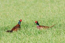 Pheasant / Fasan 2