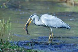 Grey heron / Häger 1