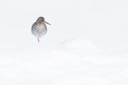 Redshank / Rödbena _DSC1683