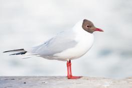 Black headed gull / Skrattmås _DSC5562