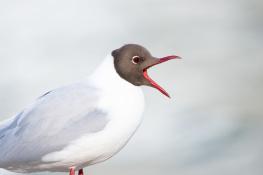 Black headed gull / Skrattmås _DSC5575 (2)