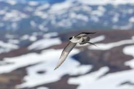 Long tailed skua / Fjällabb 3