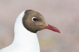 Black headed gull / Skrattmås _DSC9551