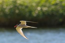 Arctic tern / Silvertärna _DSC9325