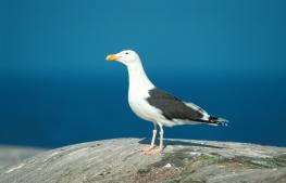 Great black backed gull / Havstrut UA-136