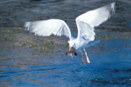 Herring gull / Gråtrut UA-325