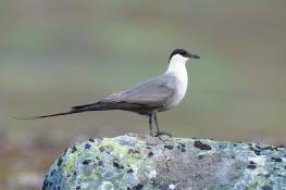 Long tailed skua / Fjällabb 9