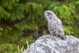 Great grey owl / Lappuggla 1