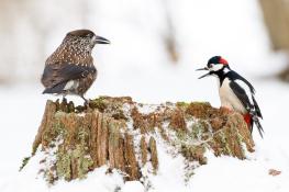 Nutcracker - Great spotted woodpecker