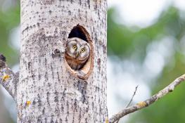 Tengmalm`s owl / Pärluggla