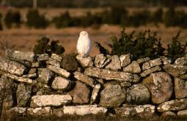 Snowy owl / Fjälluggla UA-330