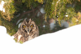 Short eared owl / Jorduggla
