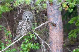 Great grey owl / Lappuggla 2