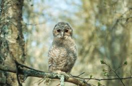 Tawny owl / Kattuggla