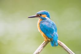 Kingfisher / Kungsfiskare _DSC0451