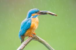 Kingfisher / Kungsfiskare _DSC1152
