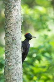 Black woodpecker / Spillkråka _DSC5237