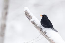 Blackbird / Koltrast 2