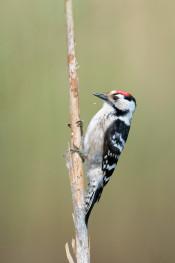 Lesser spotted woodpecker / Mindre hackspett 1