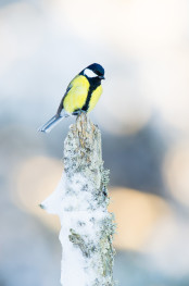 Great tit / Talgoxe _DSC0350