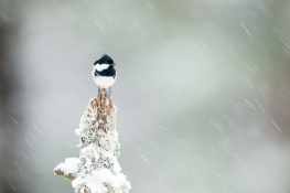 Coal tit / Svartmes _DSC1590