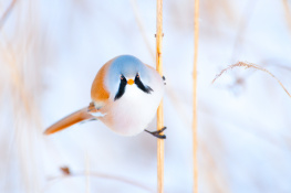 Bearded tit / Skäggmes 2