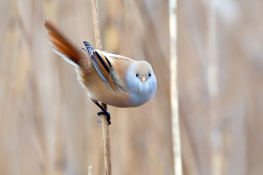 Bearded tit / Skäggmes 3