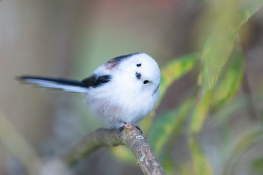 Long tailed tit / Stjärtmes _DSC5416