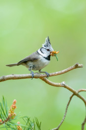 Crested tit / Tofsmes 1