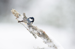 Coal tit / Svartmes _DSC9661
