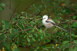 Long tailed tit / Stjärtmes