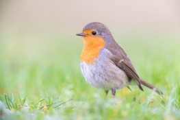 Robin / Rödhake _DSC5241