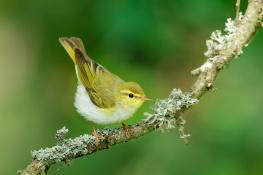 Wood warbler / Grönsångare