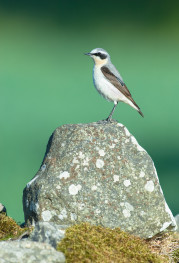 Northern wheatear / Stenskvätta