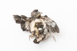 Swallow / Ladusvala _DSC6341