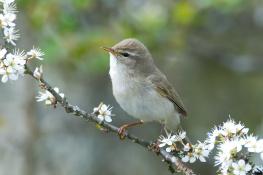 Willow warbler / Lövsångare
