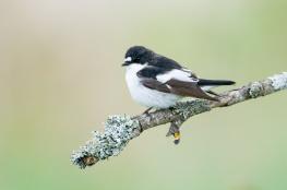 Pied flycatcher / Svartvit flugsnappare