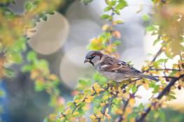 House sparrow / Gråsparv _DSC5610