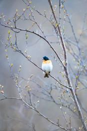 Brambling / Bergfink