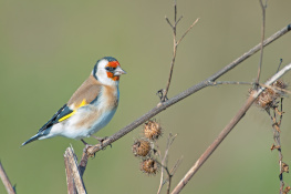 Goldfinch / Steglits 1