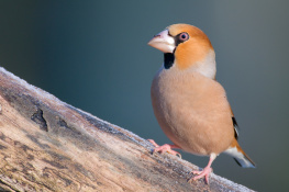 Hawfinch / Stenknäck 1