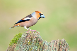 Hawfinch / Stenknäck 2
