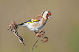 Goldfinch / steglits 2