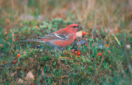 Pine grosbeak / Tallbit  UA-303