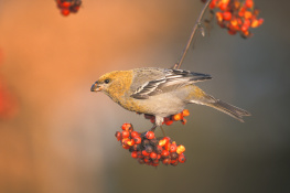 Pine grosbeak / Tallbit  UA-2551