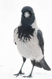 Hooded Crow / Kråka _DSC1339