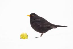 Blackbird / Koltrast_DSC9183