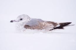 Common gull - Fiskmås _DSC1335