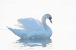 Mute Swan / Knölsvan _DSC7396